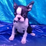 Boston terrier 34 - aquanatura (barcelona) - Cachorro en venta de AQUANATURA