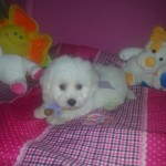 Curioso de My Loving Puppies - Cachorro en venta de My Loving Puppies