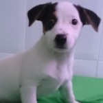 Cachorro de Jack Russell Terrier: JACK RUSSELL 80 - Aquanatura (Barcelona)