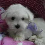 Picaso de My Loving Puppies - Cachorro en venta de My Loving Puppies