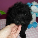 CHIQUITO de My Loving Puppies - Minitoy - Cachorro en venta de My Loving Puppies