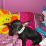 Ziggy de My Loving Puppies - Cachorro en venta de My Loving Puppies