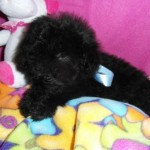 Cachorro de Caniche Toy: Manolico de My Loving Puppies