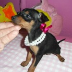 Yuuma de My Loving Puppies - Cachorro en venta de My Loving Puppies