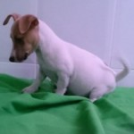 Cachorro de Jack Russell Terrier: JACK RUSSELL 81 - Aquanatura (Barcelona)