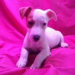 Cachorro de Jack Russell Terrier: JACK RUSSELL 73 - Aquanatura (Barcelona)