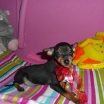TRUENO de My Loving Puppies - Cachorro en venta de My Loving Puppies