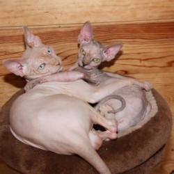 Donina Sphynx Cattery