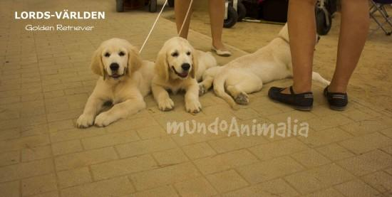 Fotos  del criador Lords-Världen Golden Retriever - mundoAnimalia