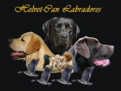 Labrador Retriever de Helvet-Can