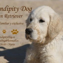 Serendipity Dog - Golden Retriever