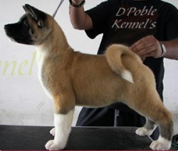 Akitas Americanos Chile D'Poble Kennel's