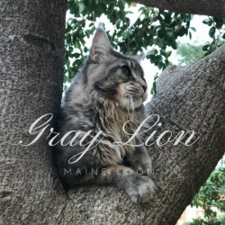 Gray Lion Maine coon