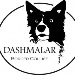 Dashmalar Border Collies