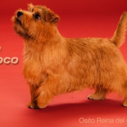 Osito Norfolk Terriers