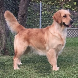 Golden retrievers Sol del Aljarafe