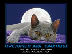 Terciopelo Azul Chartreux