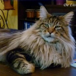 De Lisbeth Maine Coon
