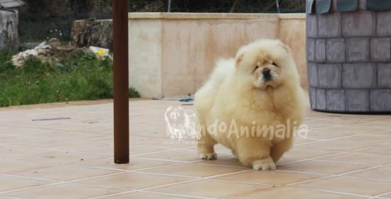 Fotos  del criador Chows of the Island - mundoAnimalia