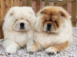 Chows of the Island