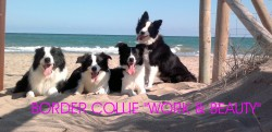 Border Collie Work & Beauty