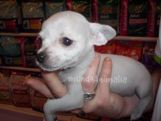 Perros Chihuahua de Aquanatura - mundoAnimalia