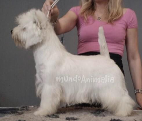 Perros West Highland White Terrier de Dashlut - mundoAnimalia