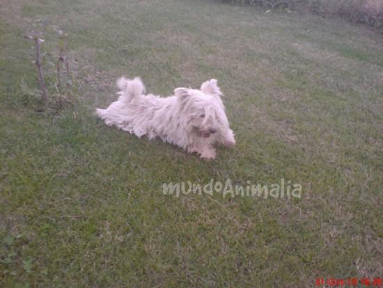 Perros West Highland White Terrier de Aquanatura - mundoAnimalia