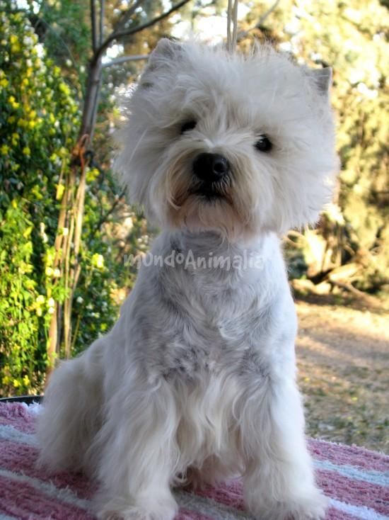 Fotos del West Highland White Terrier