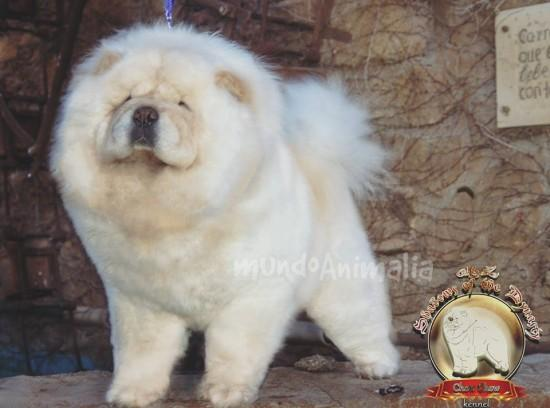 Perros Chow Chow de M&Z SHADOWS OF THE DYNASTY - mundoAnimalia