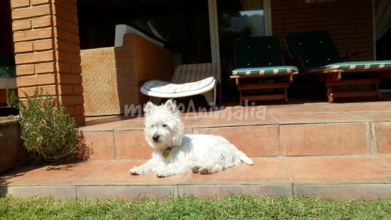 Ver más fotos de West Highland White Terrier - 108