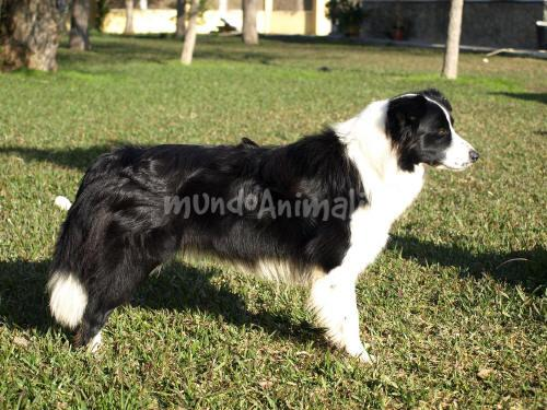 Fotos del Border Collie