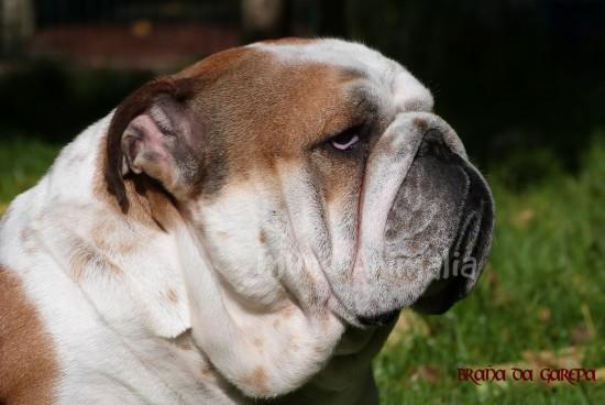 See more pictures of English Bulldog - 106