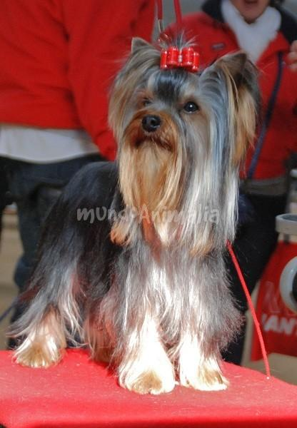 Fotos del Yorkshire Terrier