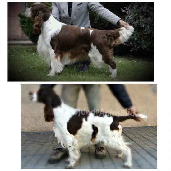 Ver más fotos de English Springer Spaniel - 38