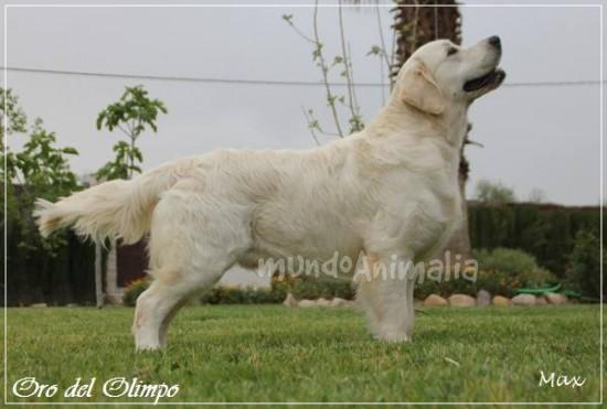 Perros Golden Retriever de Lords-Världen Golden Retriever - mundoAnimalia