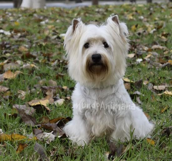 Ver más fotos de West Highland White Terrier - 117