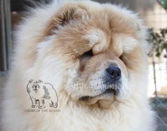 Perros Chow Chow de Chows of the Island - mundoAnimalia