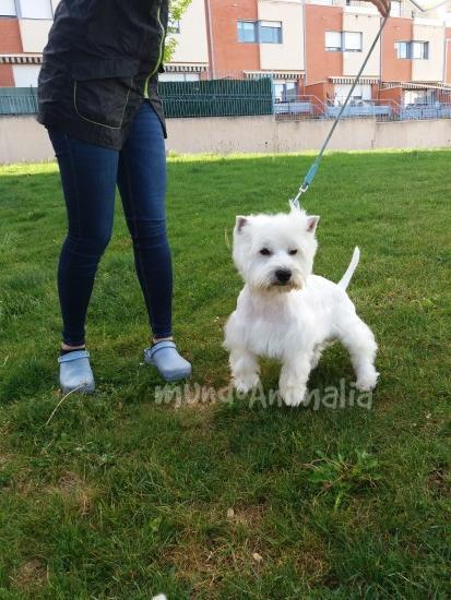 Perros West Highland White Terrier de De la zurriaga  - mundoAnimalia