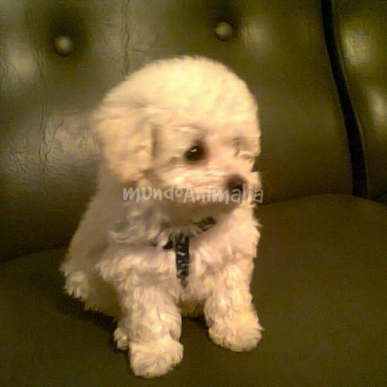 French poodle mini toy 4 meses
